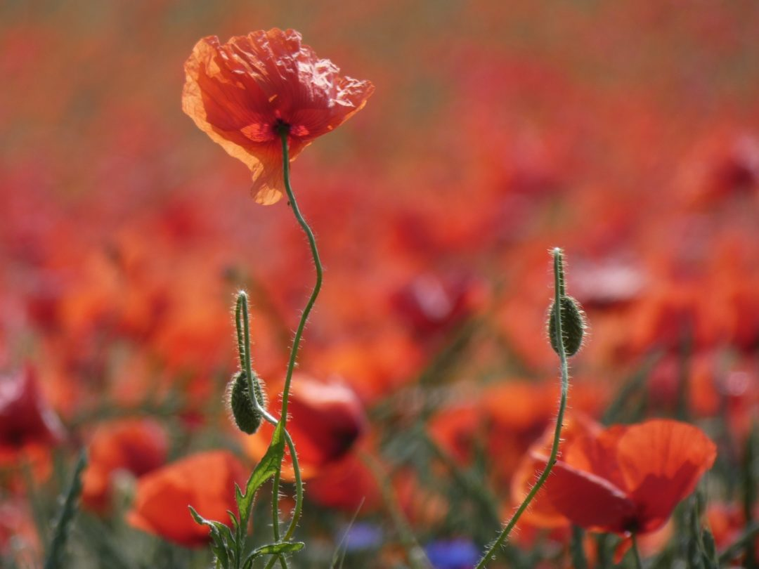 Roter Mohn auf Wiese